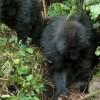 Mladé gorily se naučily ničit pasti pytláků